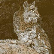 dbell_Bobcats